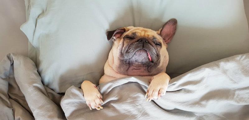 Chien dormant sous une couette